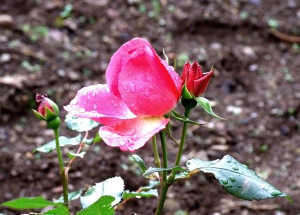 Xmas Rose by theeyesoftheblind