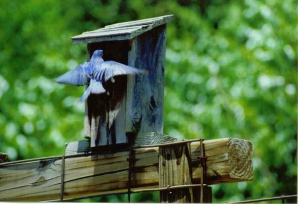 eastern bluebird by dawnmichelle
