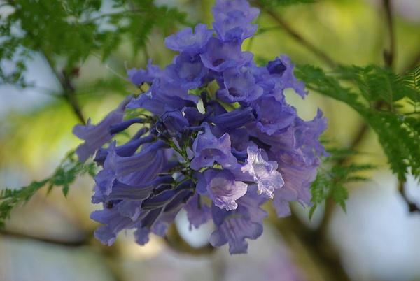 Jakaranda tree flower by Lindaephotozine