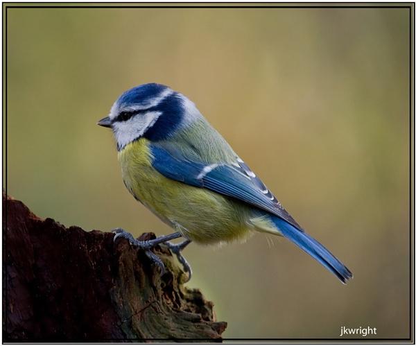 blue tit by fishy2