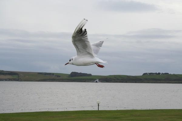 Seagull by Georgias_Dad