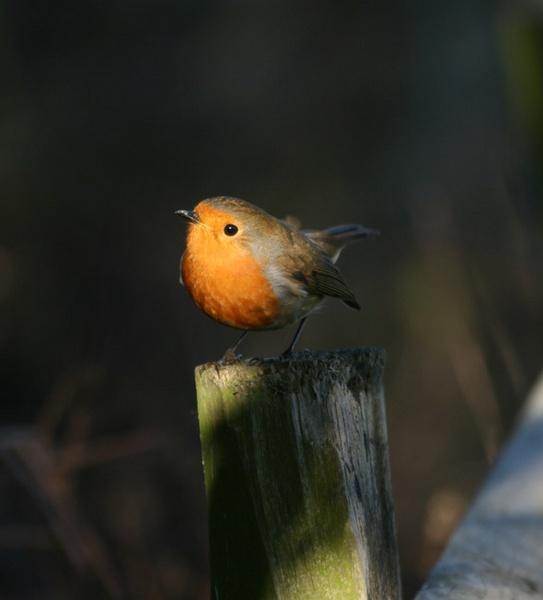 robin in the spotlight by blacky