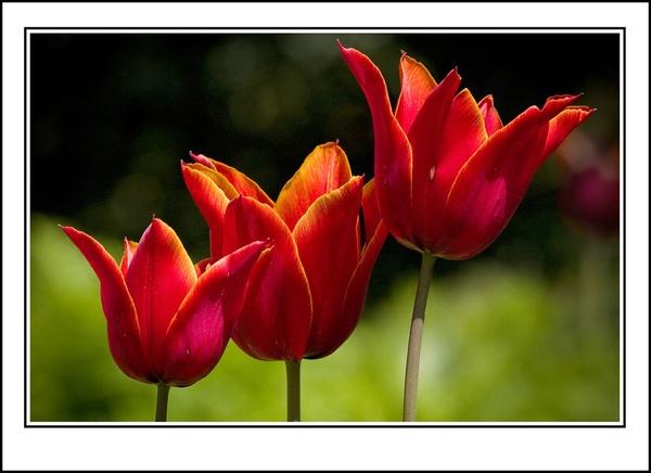 3 Tulips by ron thomas