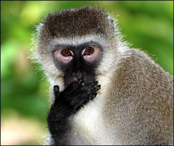 Ape by ojjo