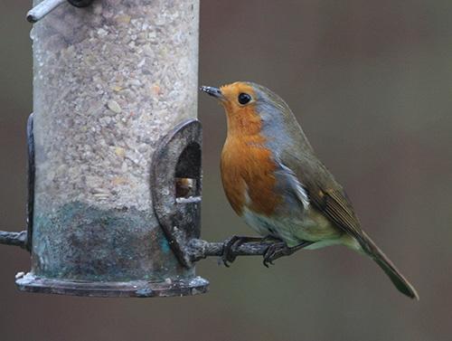 Robin by helengib