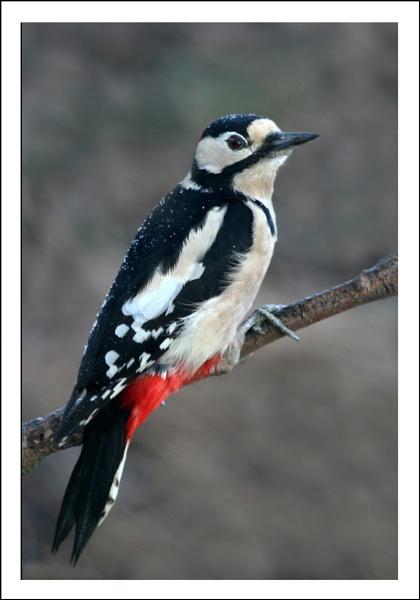 Woodpecker by Marian