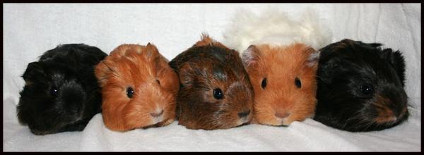 5 little pigs by Sarahmann