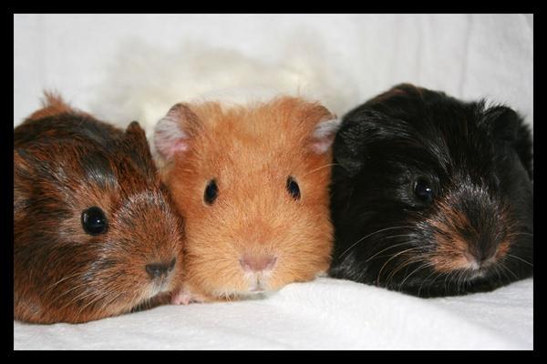 3 little pigs by Sarahmann