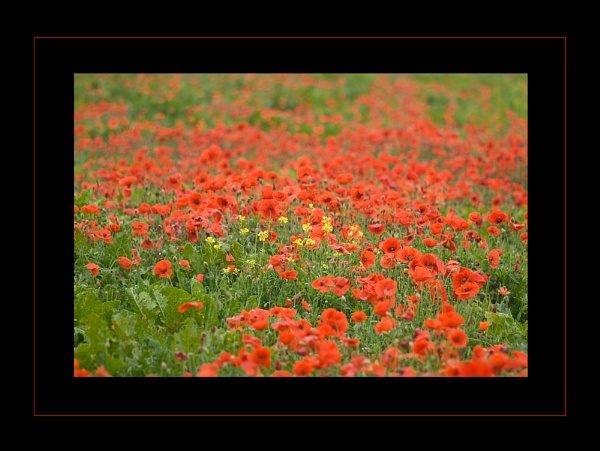 October Poppies by baldsparky
