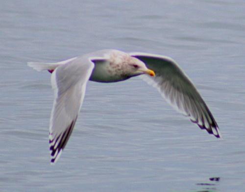 gull in flight by Bear46404
