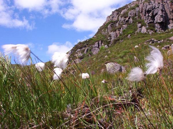 cotton grass by John45