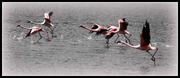 Flamingoes in Flight by HelenLloyd
