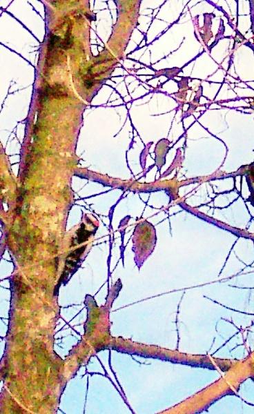 woody woodpecker by dawnmichelle