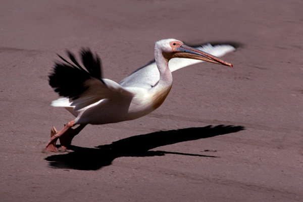 White Pelican taking Off by lonely_oryx