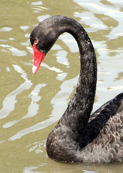 Black Swan by Ada