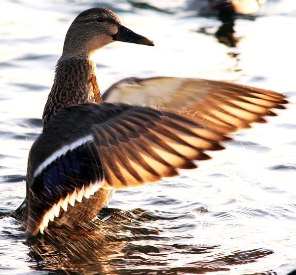 Mallard Duck by EllieEdge