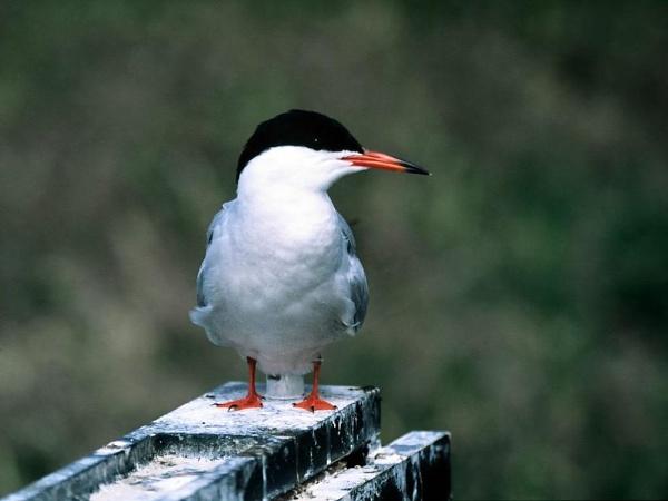 Common tern by xstevex