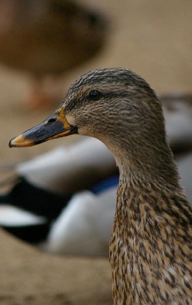 Ducks by samfinister