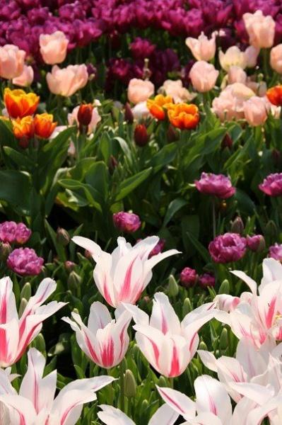Tulips at Eden by SarahJ