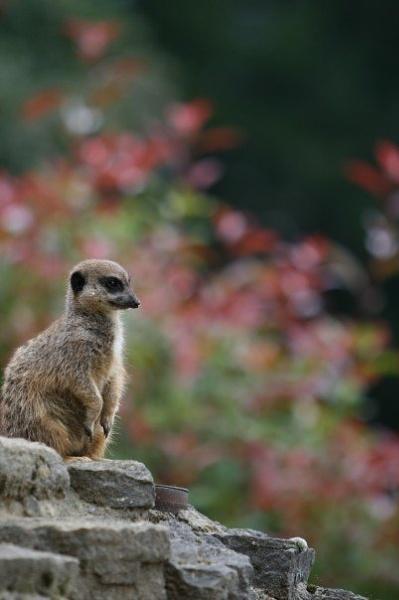 Another Meerkat by SarahJ