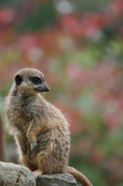 Meerkat number 3 by SarahJ