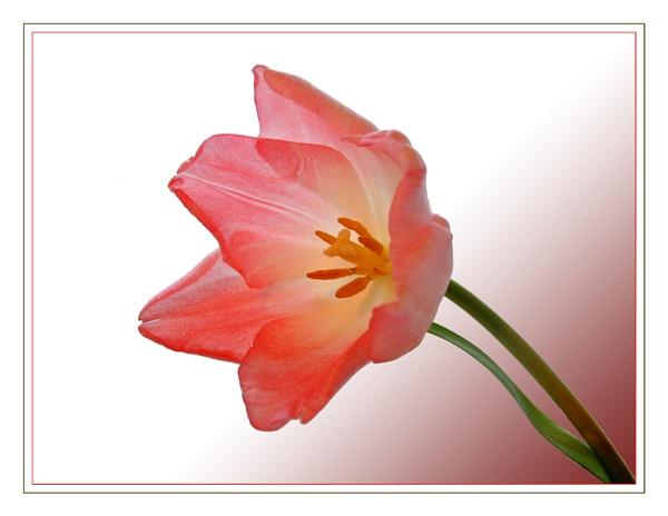 Open Tulip by sandrish