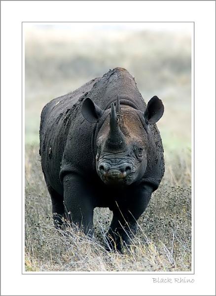 Black Rhino by stevie