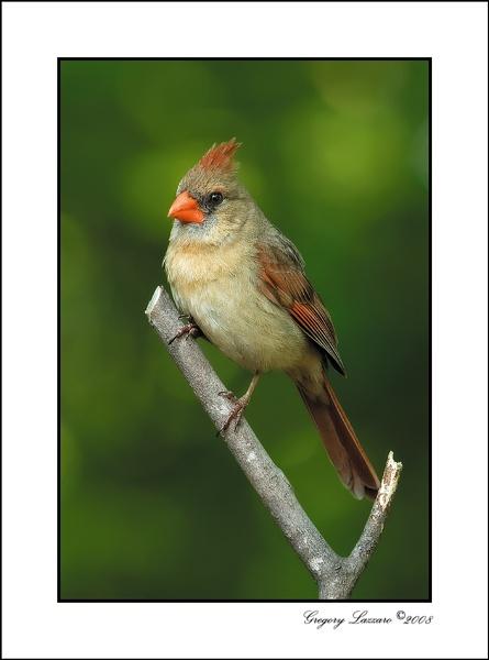 Northern Cardinal by glazzaro