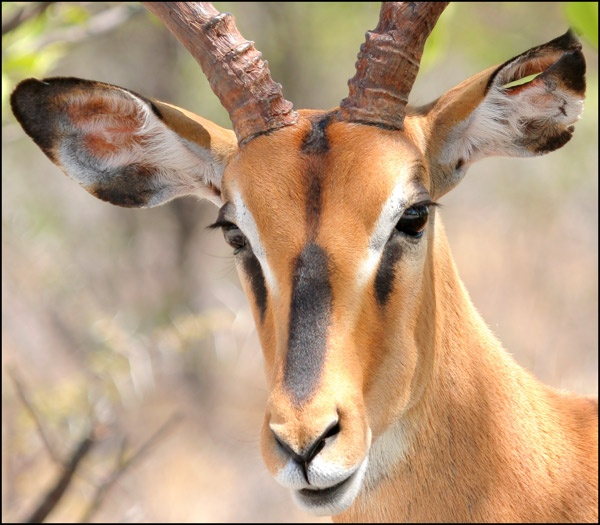 Black faced Impala by chrispd101