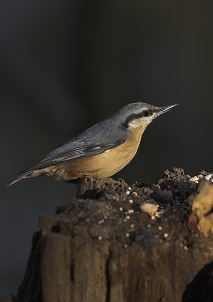Nuthatch by barnowl