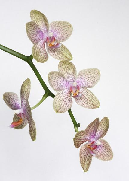 Moth Orchid... by albyn