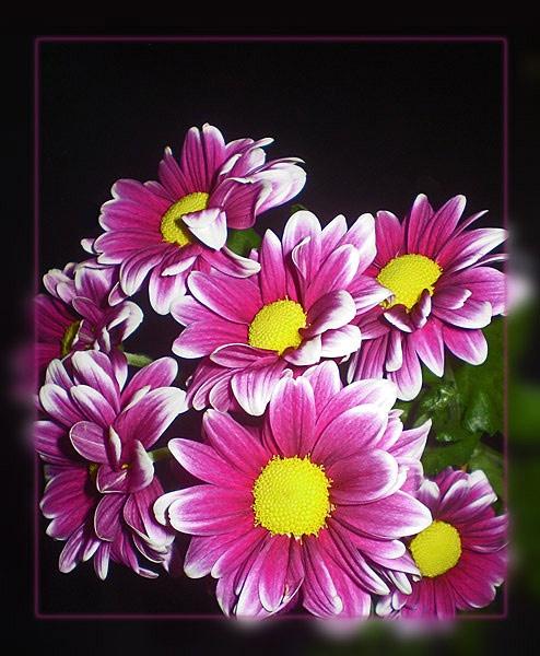 more chrysanths! by CarolG