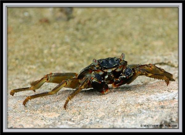 Maldivian Crab by Herge88