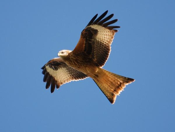 Red kite by possumhead