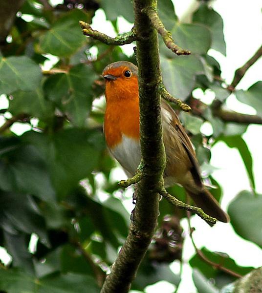 Robin by theeyesoftheblind