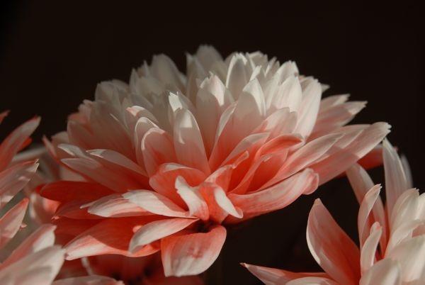 Soft Petals by thesamesky