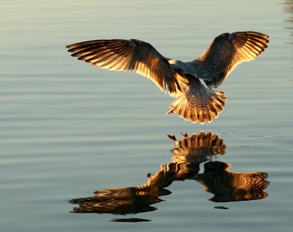 Seagull landing by EllieEdge