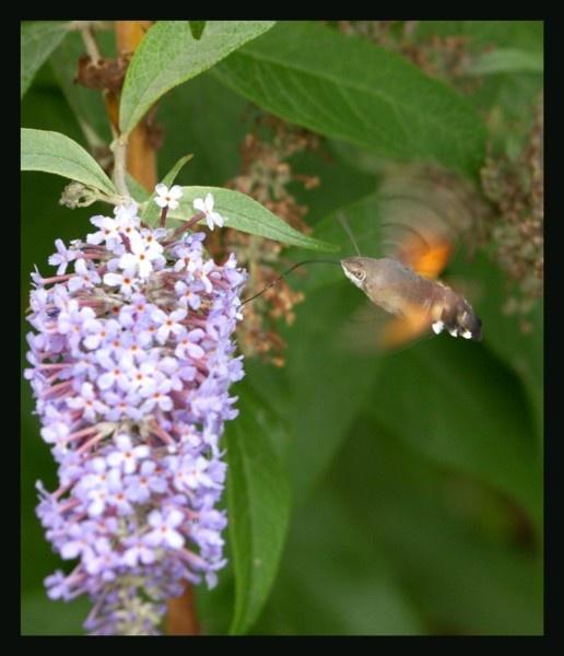 Humming bird hawk moth by Hozzell
