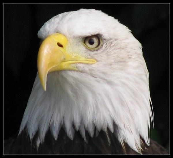 Bald Eagle by Hozzell