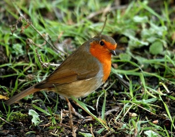 robin by blacky