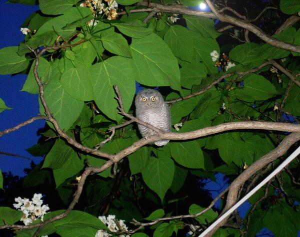 Baby Barn Owl in Catalpa Tree by btflfotogrfr