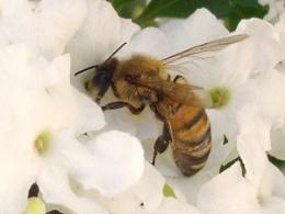 bee in flower