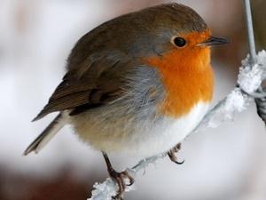 At last a closeup Robin.. by dragarth