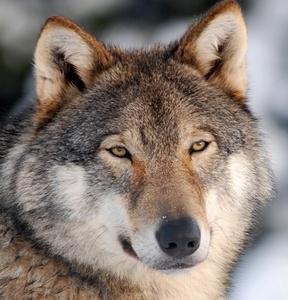 wolf by dragarth