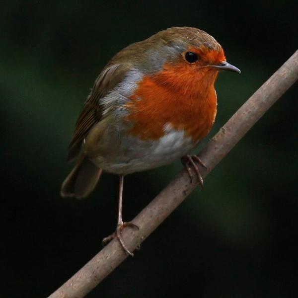 Robin by digitalcaptive