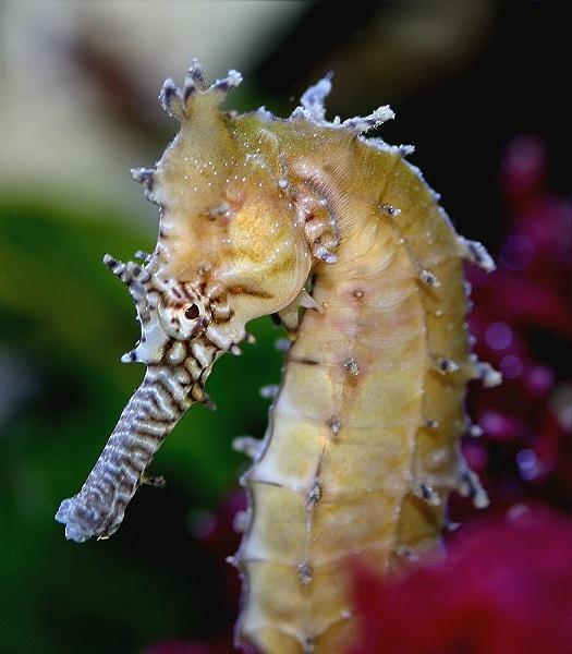 seahorse by pks