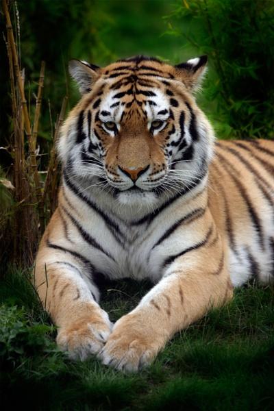 tiger by teddy