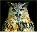 Indian eagle owl singing by Hawkgenes