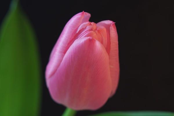 Pink Tulip by yasika