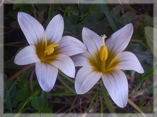 Romulea bulbocodium by CarolG
